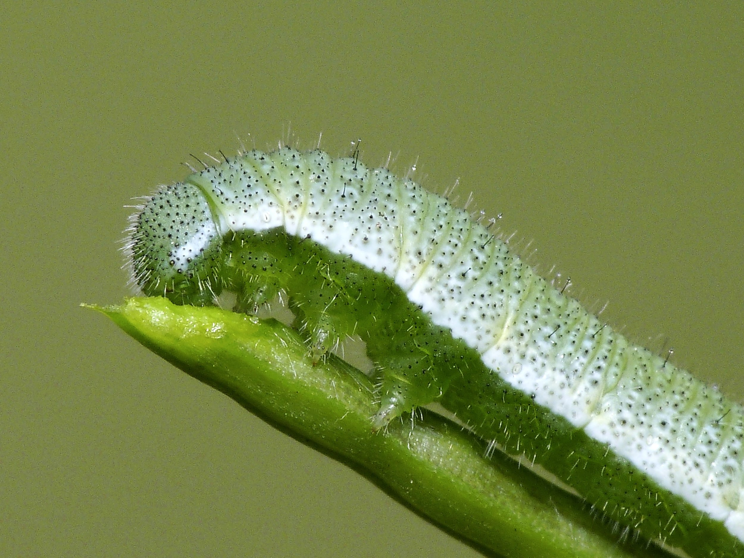 Leave caterpillars