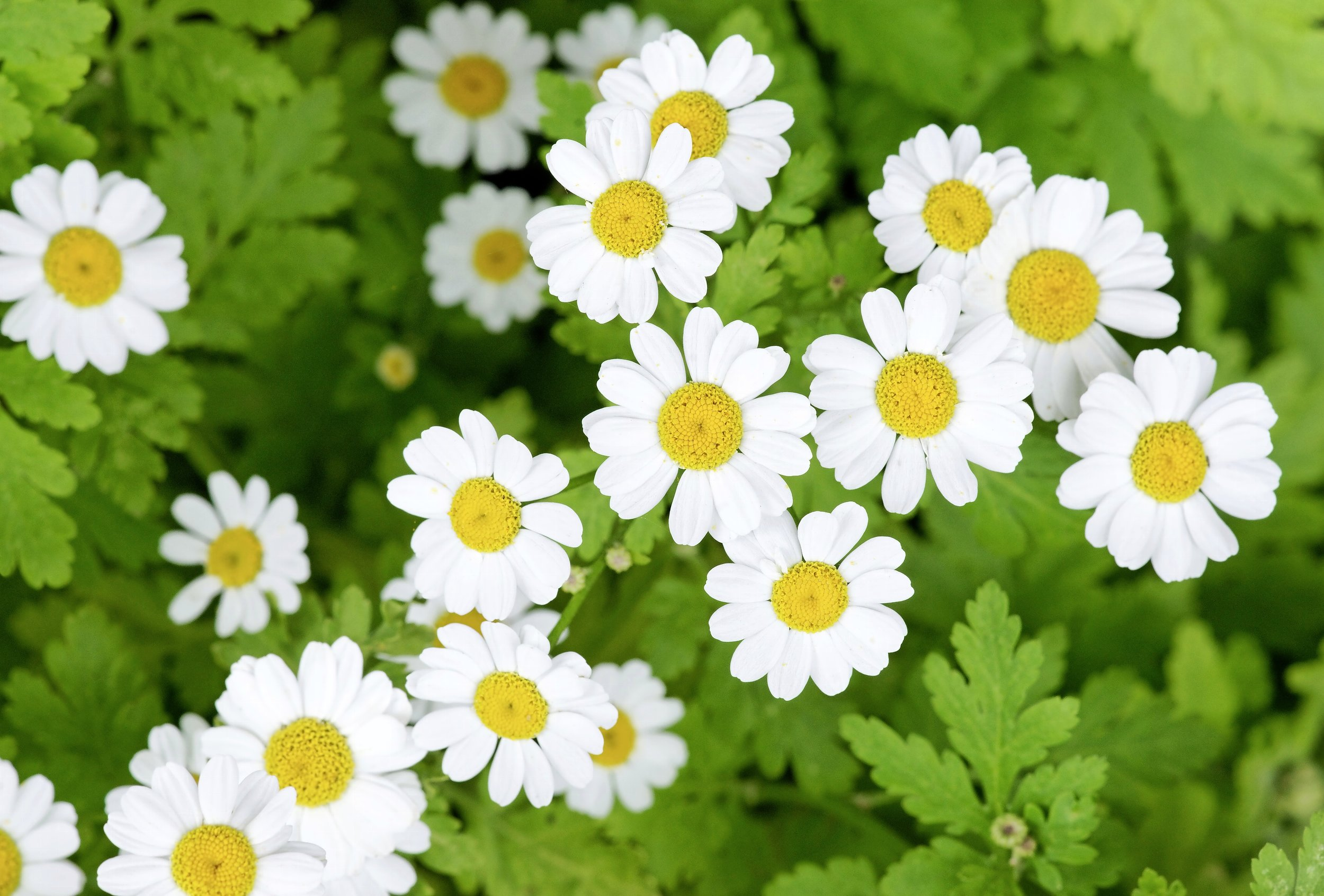 Lovely feverfew doesn't mind some shade