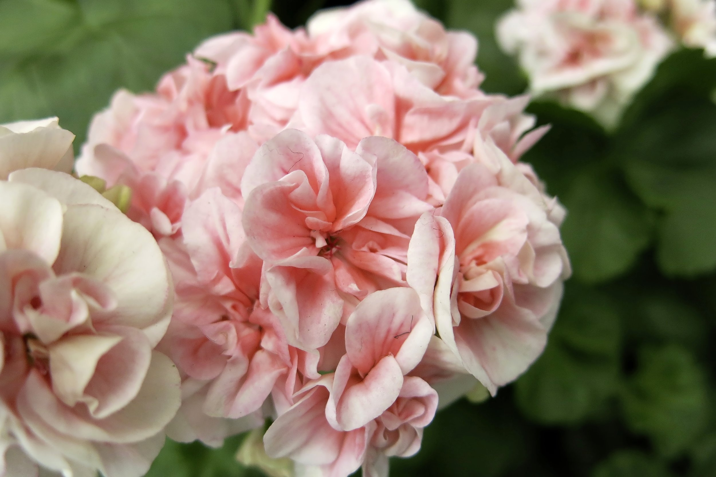 'Pink Raspail' was saved from destruction by a Plant Heritage member