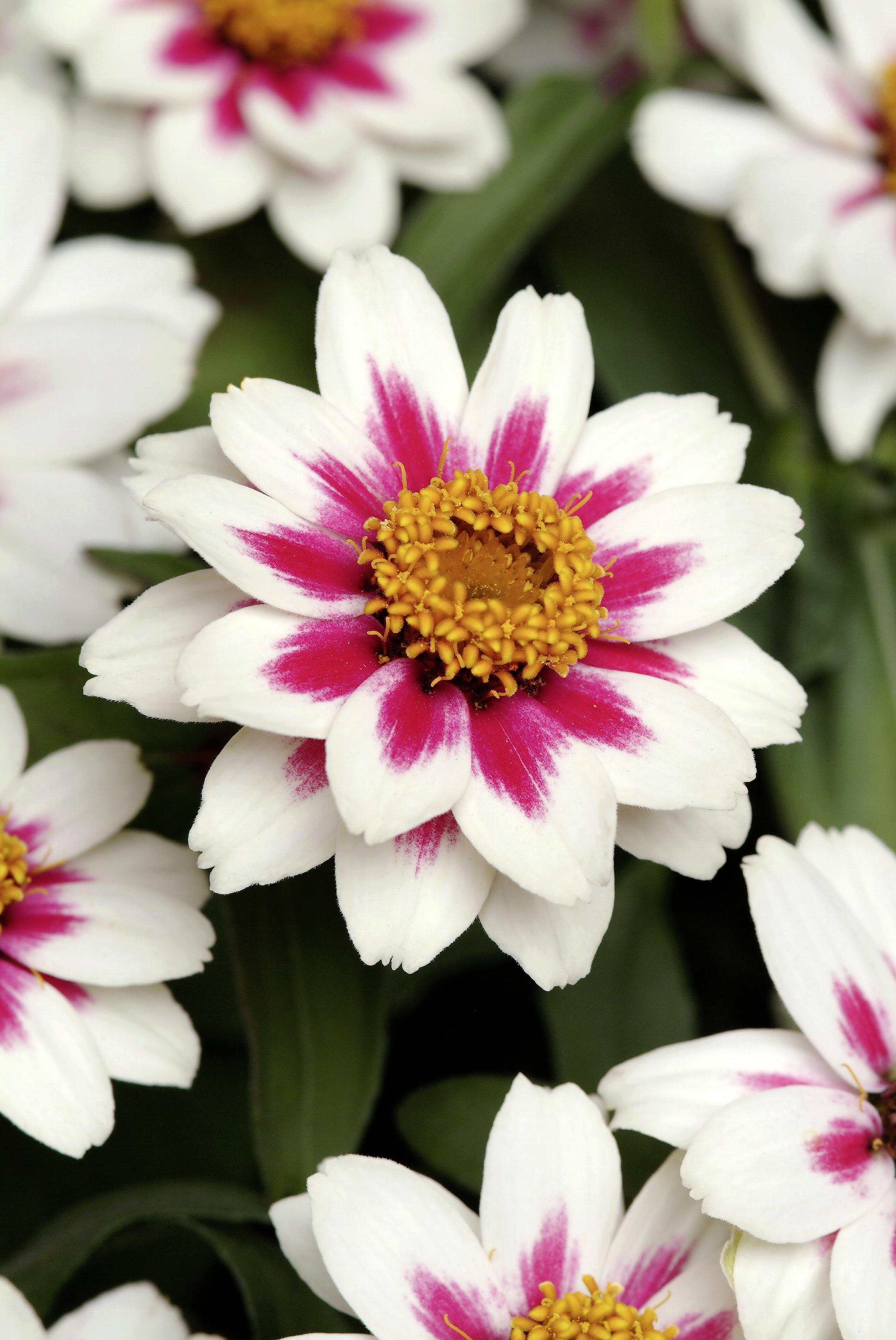 Z. marylandica 'Zahara Starlight Rose'