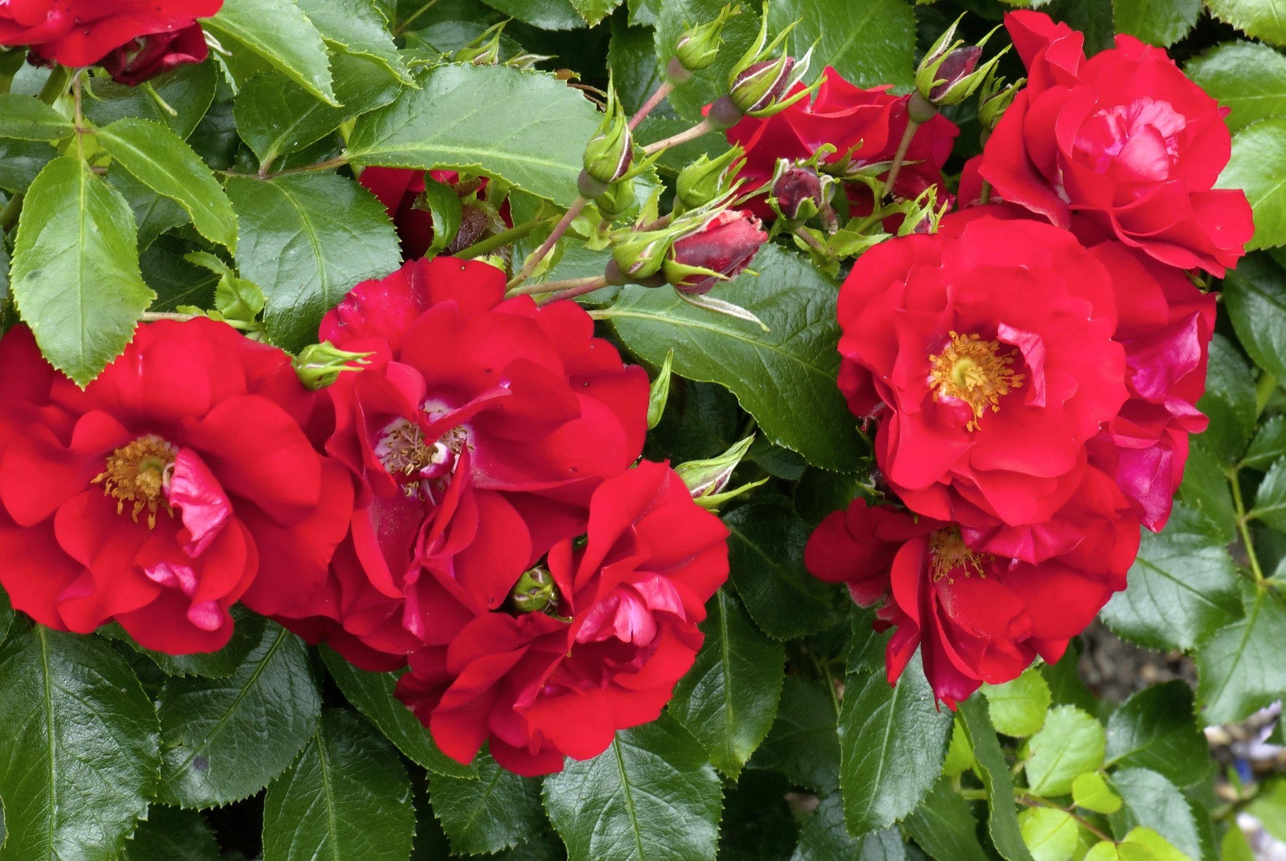 'Flower Carpet Red Velvet'