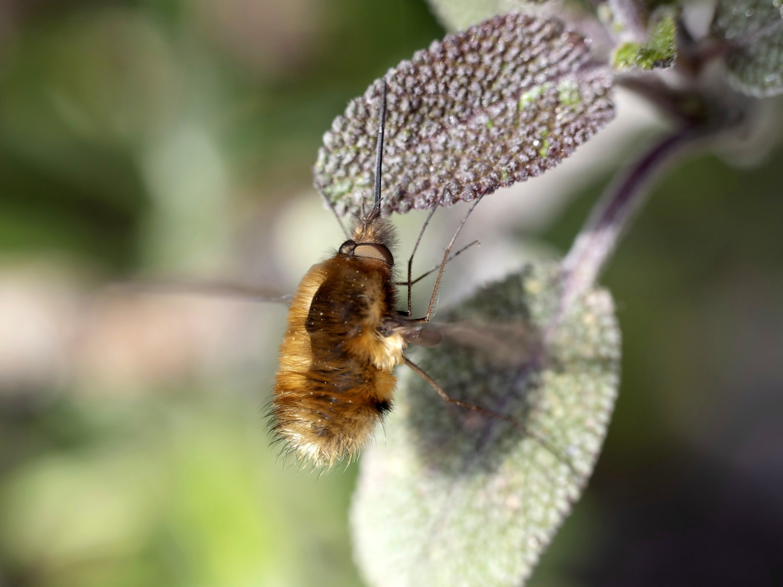 Record your bee flies