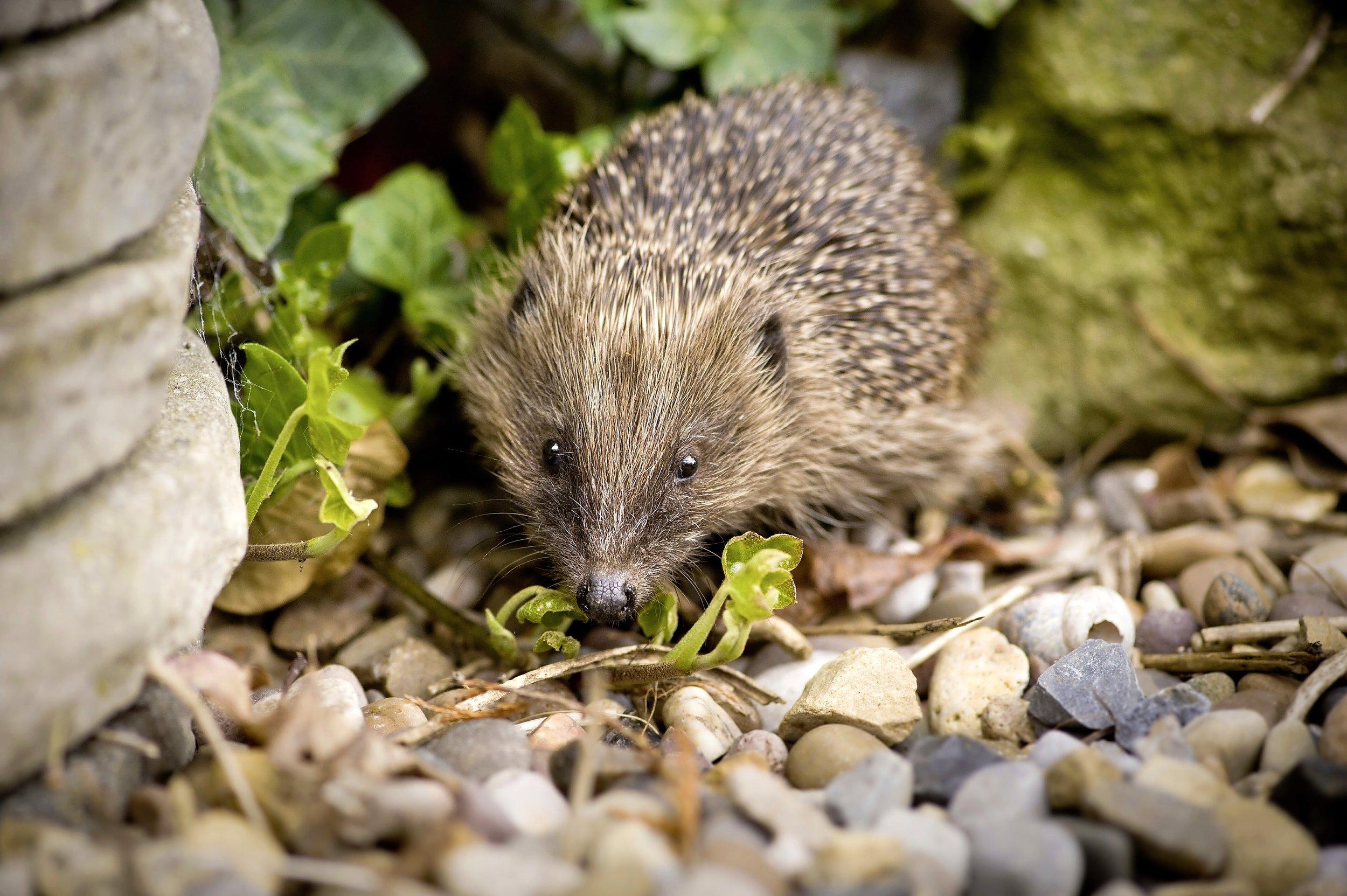 Hedgehog heroes