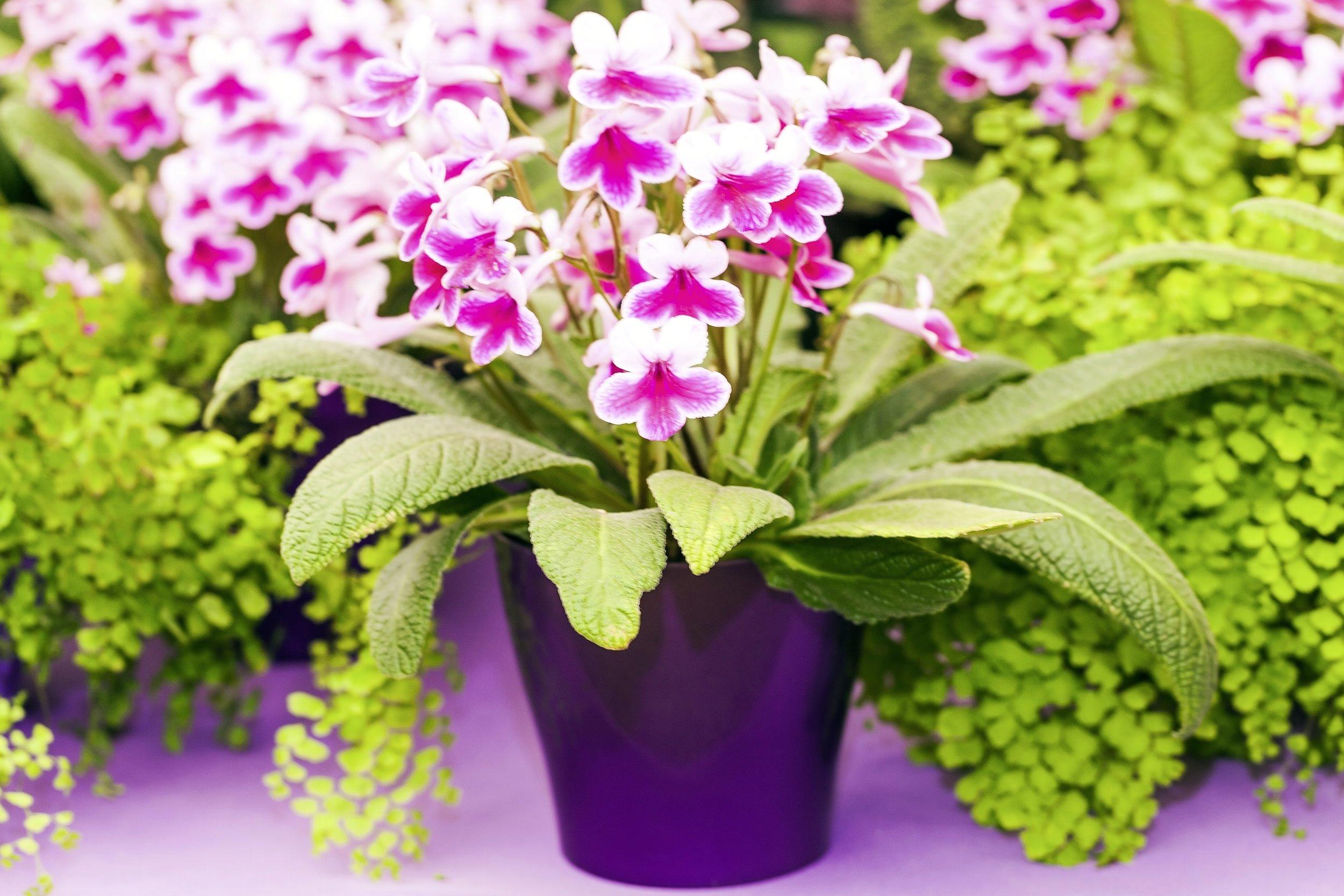 Streptocarpus are one of the most rewarding houseplants