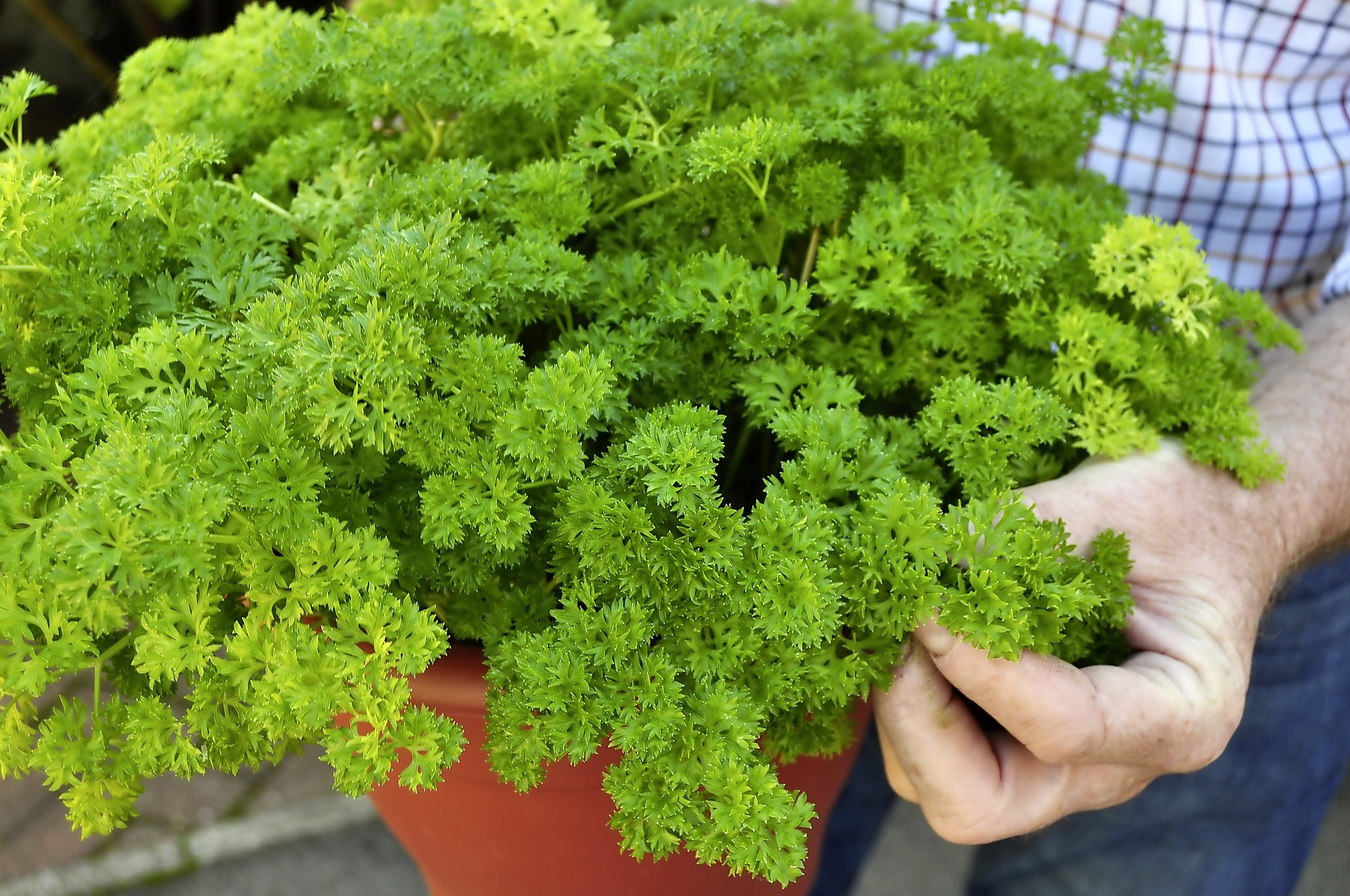 1. Parsley is hardy and when planted in a large pot it makes a mound of foliage for winter use