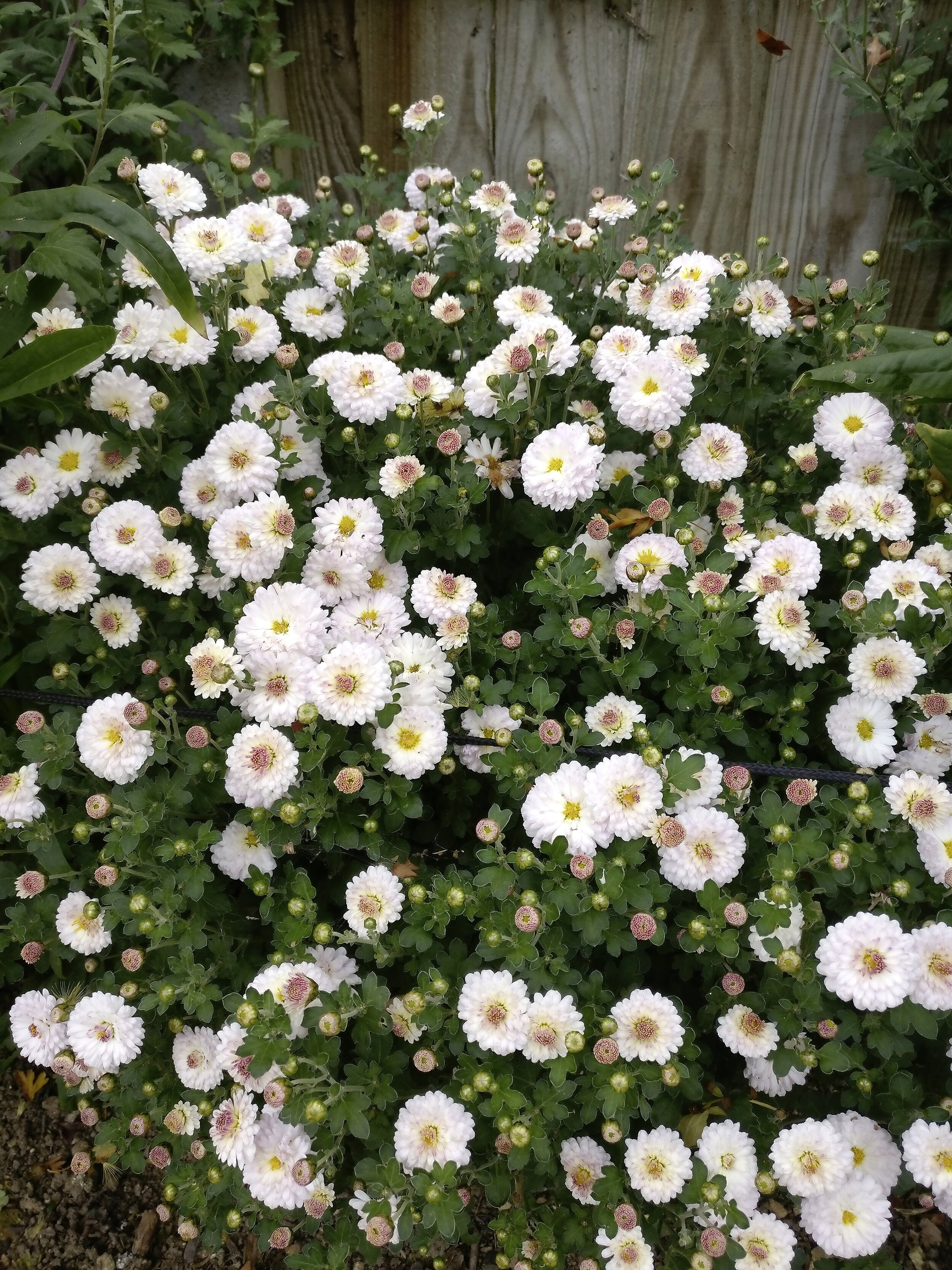Chrysanthemum 'Romantica'