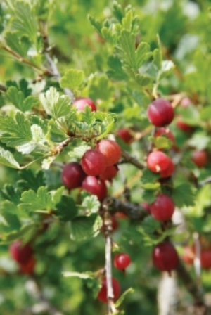 Gooseberry 'Hinnomaki Red' - sweet dessert variety. £8.95 from Mr Fothergill's www.mr-fothergills.co.uk