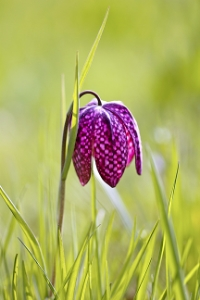Naturalise snakeshead fritillaries in your lawn