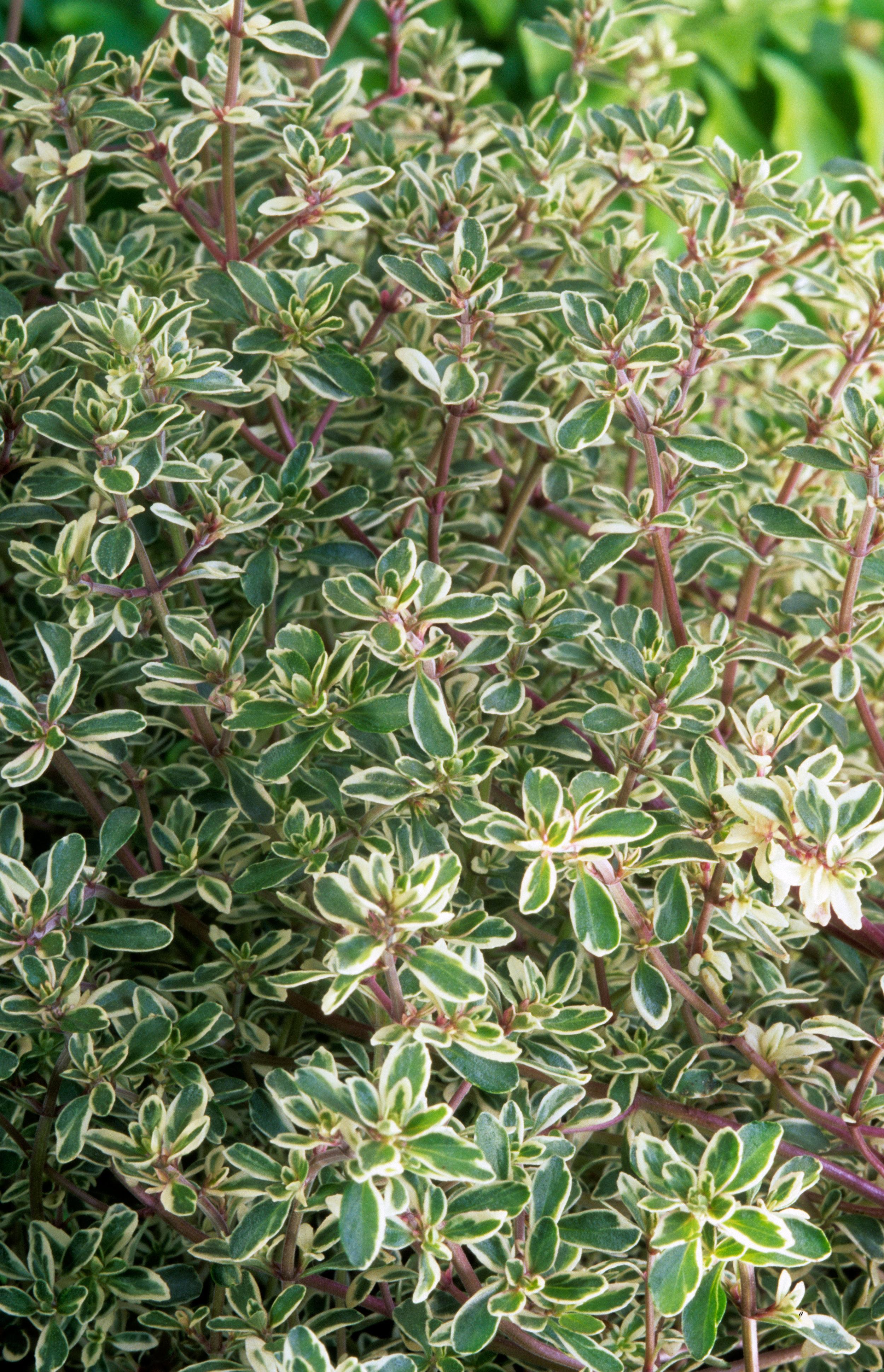 Thymus 'Silver Posie'