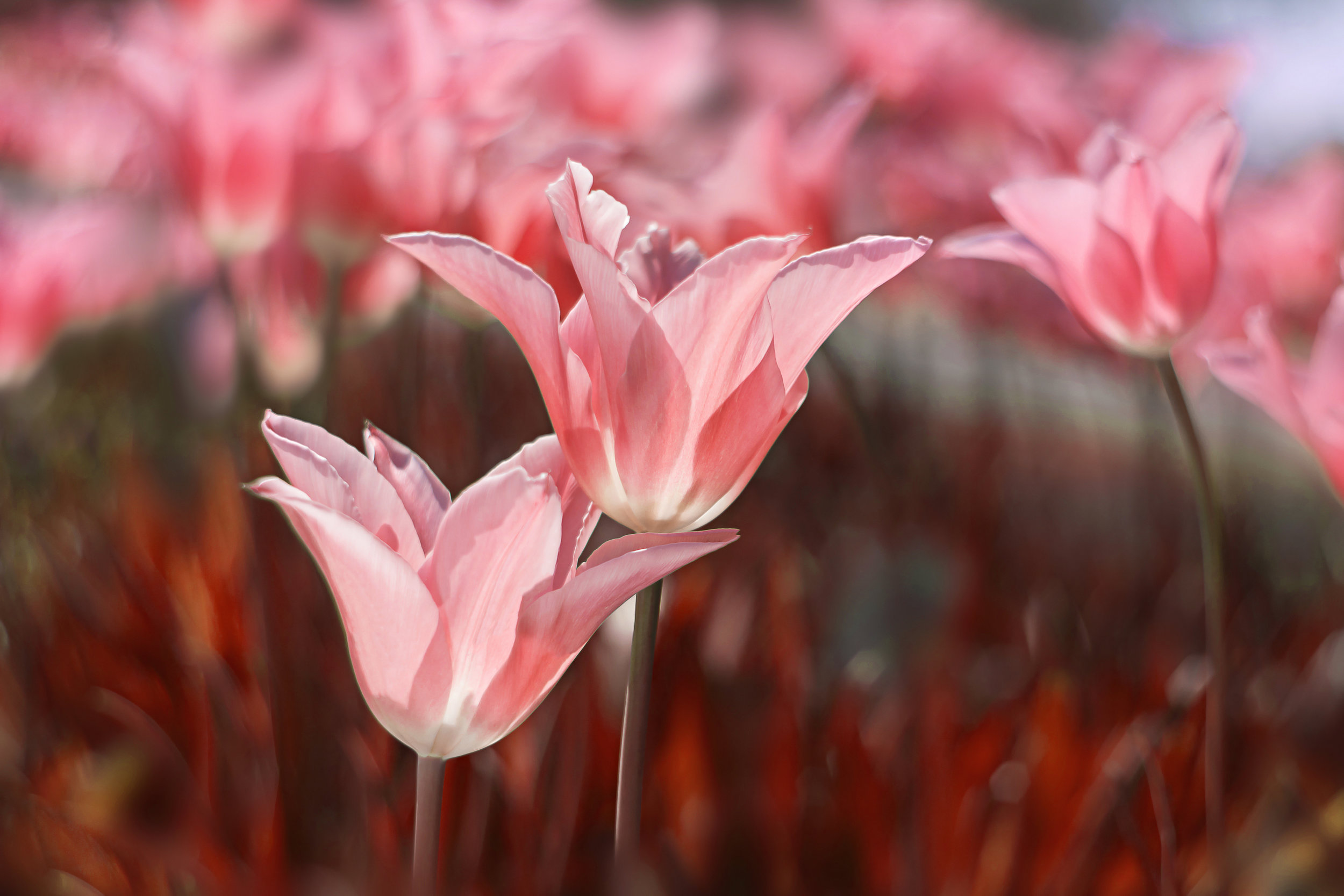 Lily-flowered