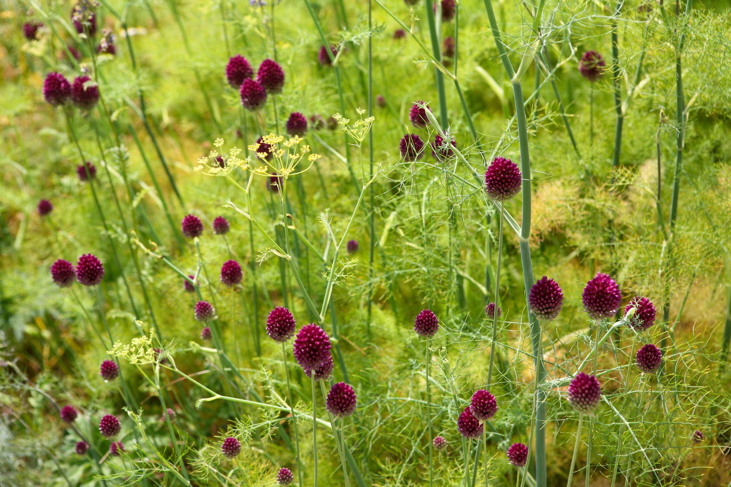 Contrasts: Bobbly  Allium sphaerocephalon  with fluffy fennel foliage