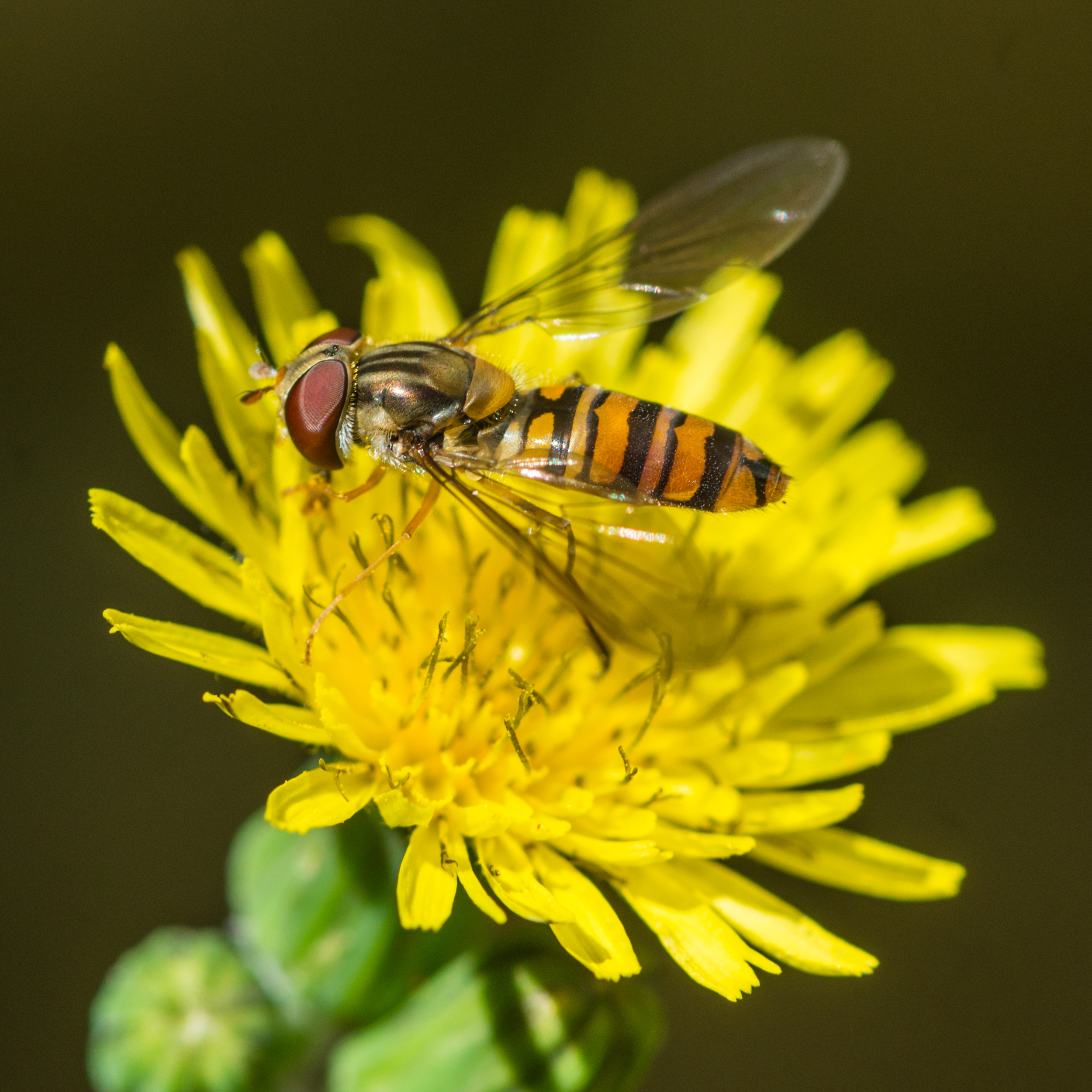 The humble hoverfly