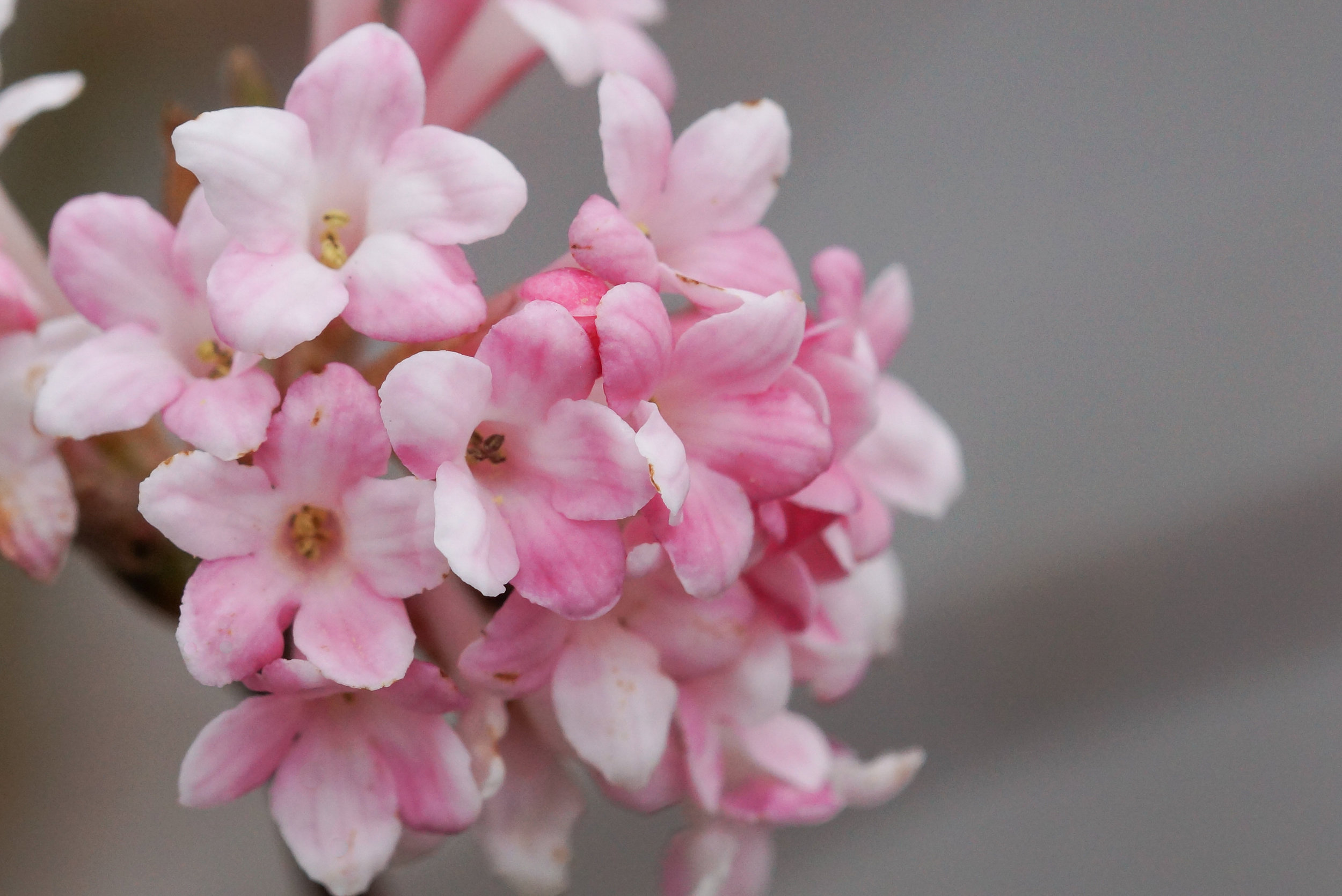 Fragrant  Viburnum bodnantense