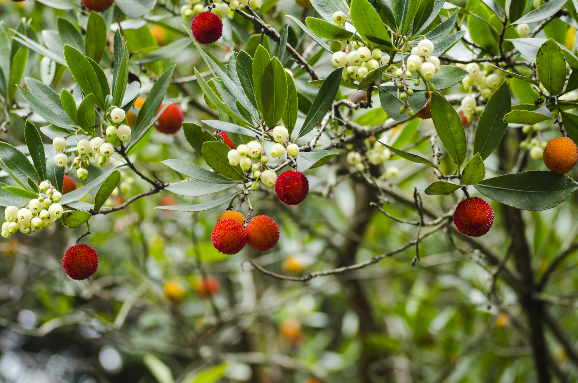 Arbutus unedo (strawberry tree)