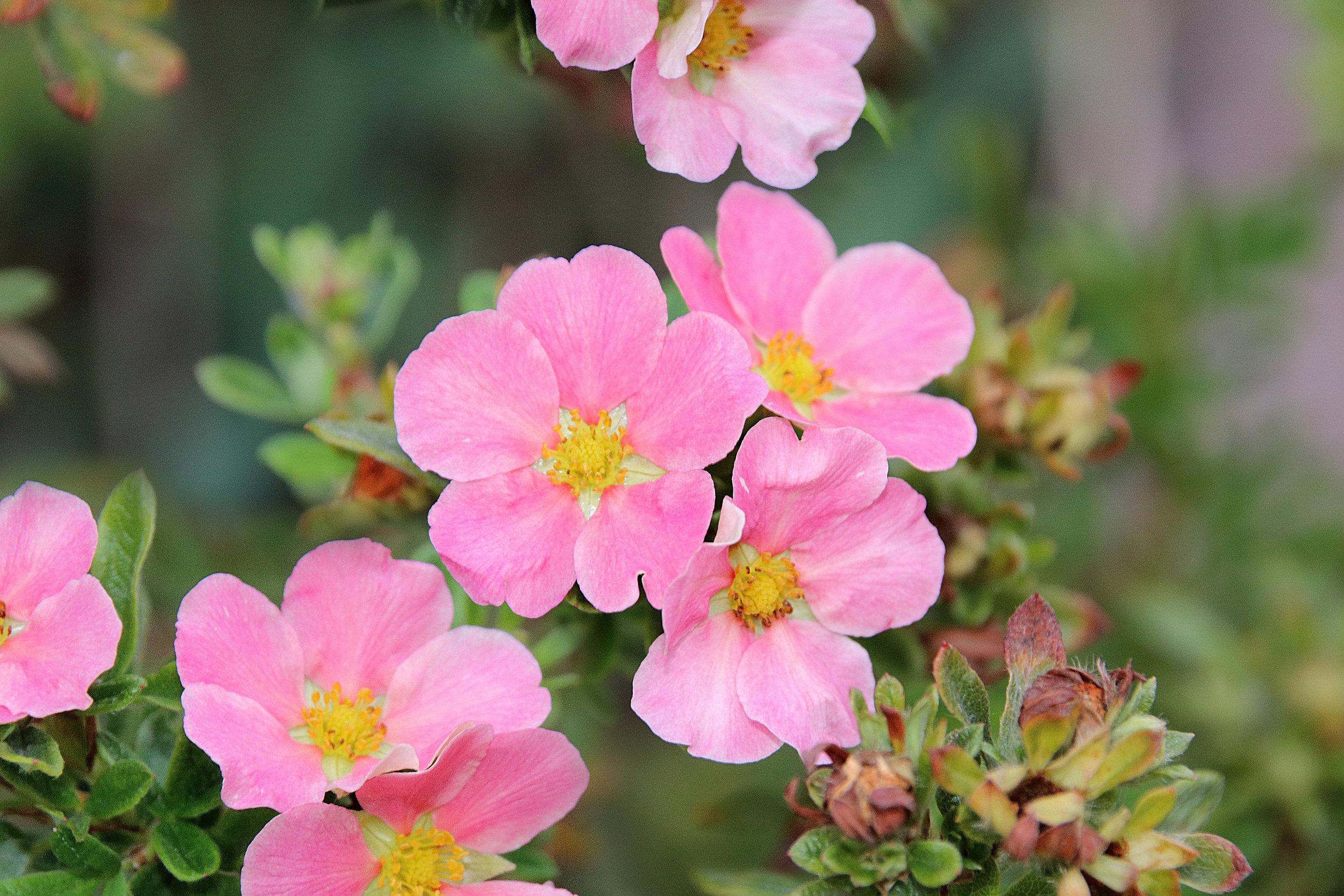 Potentilla 'Lovely Pink'