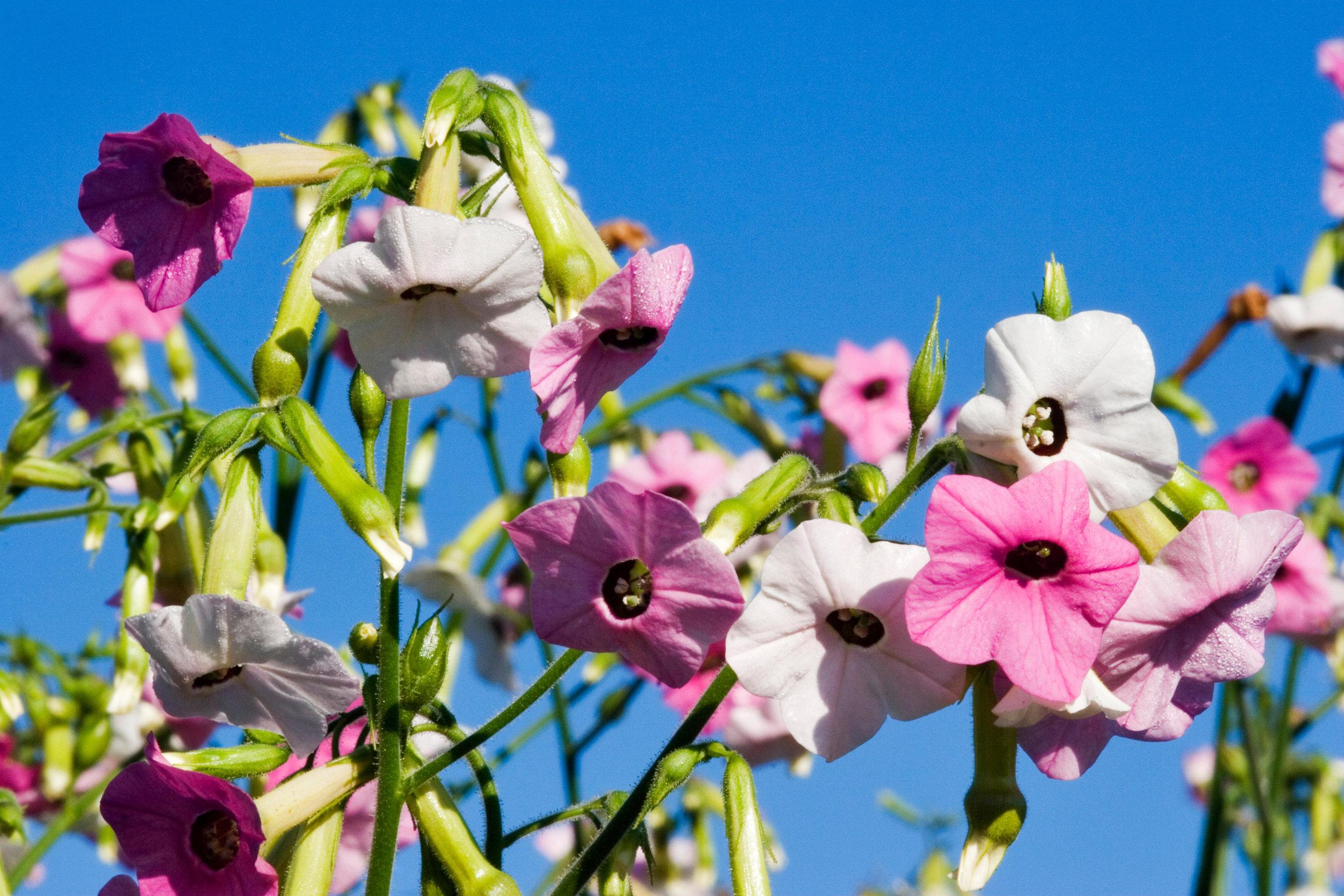 Nicotiana mutabilis 'Marshmallow'