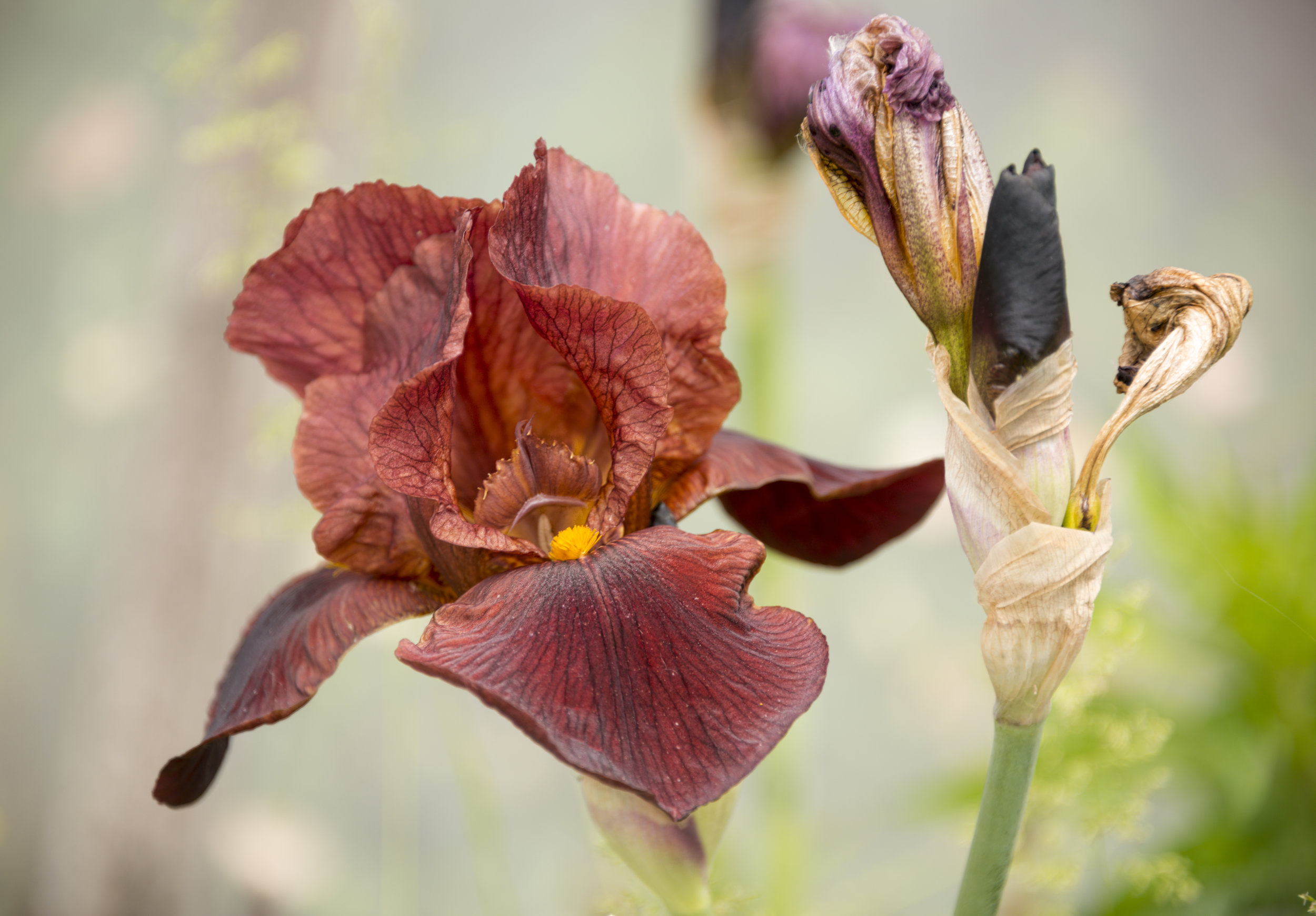 Iris 'Dutch Chocolate'