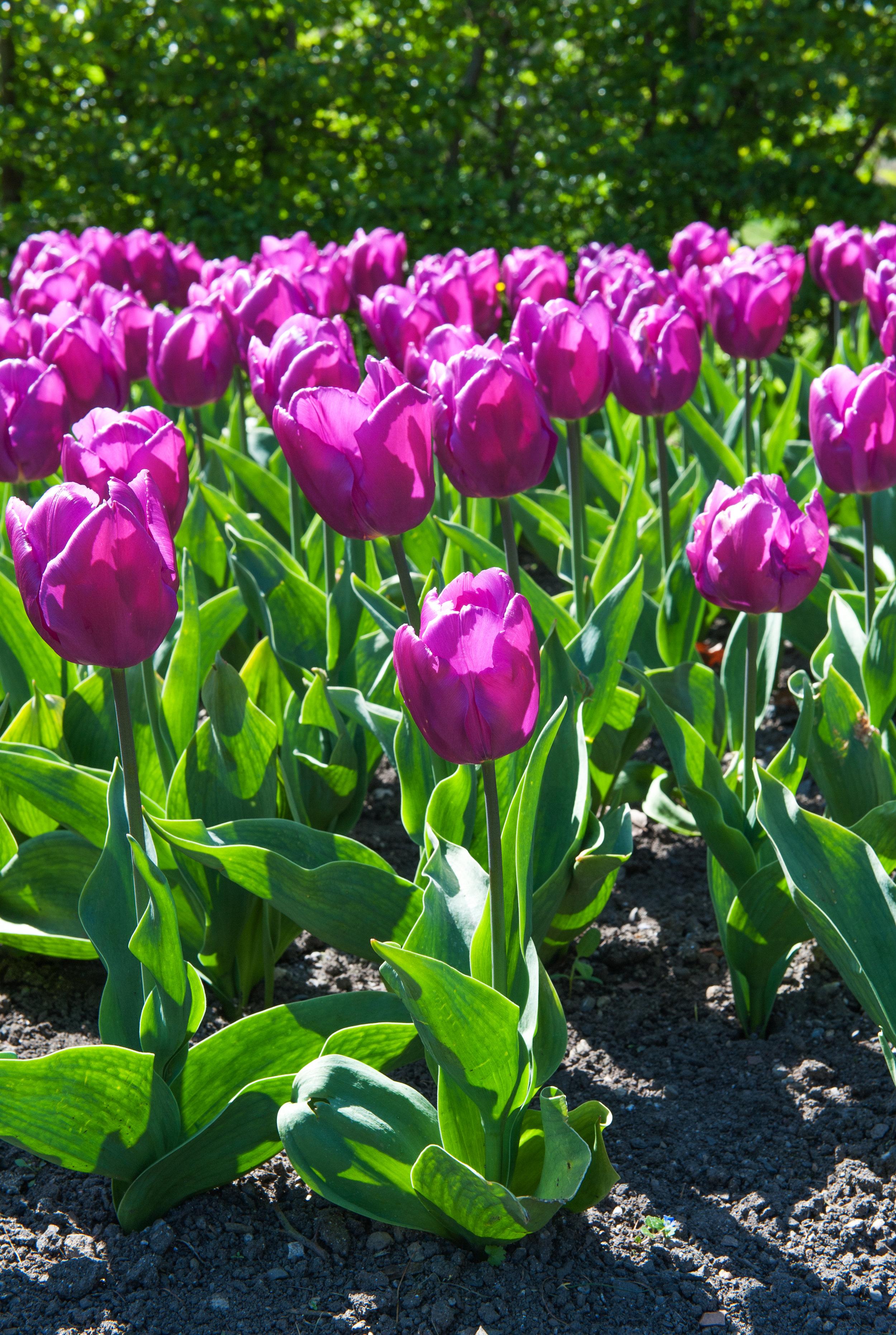 Tulip 'Negrita'