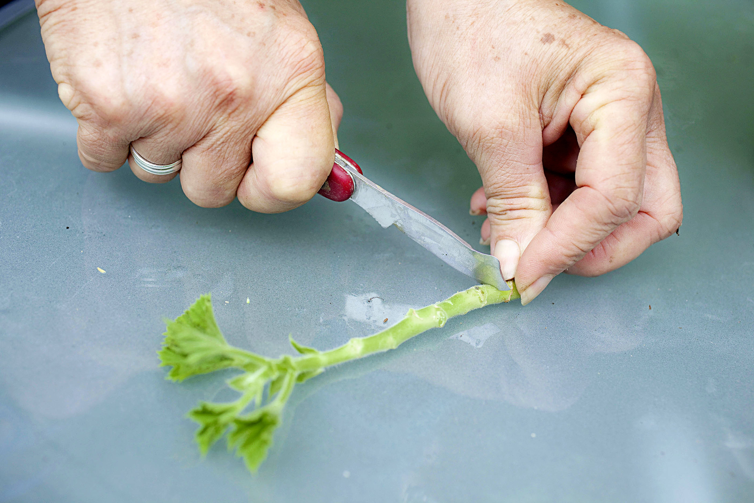 Strip off the lower leaves and trim with a sharp knife
