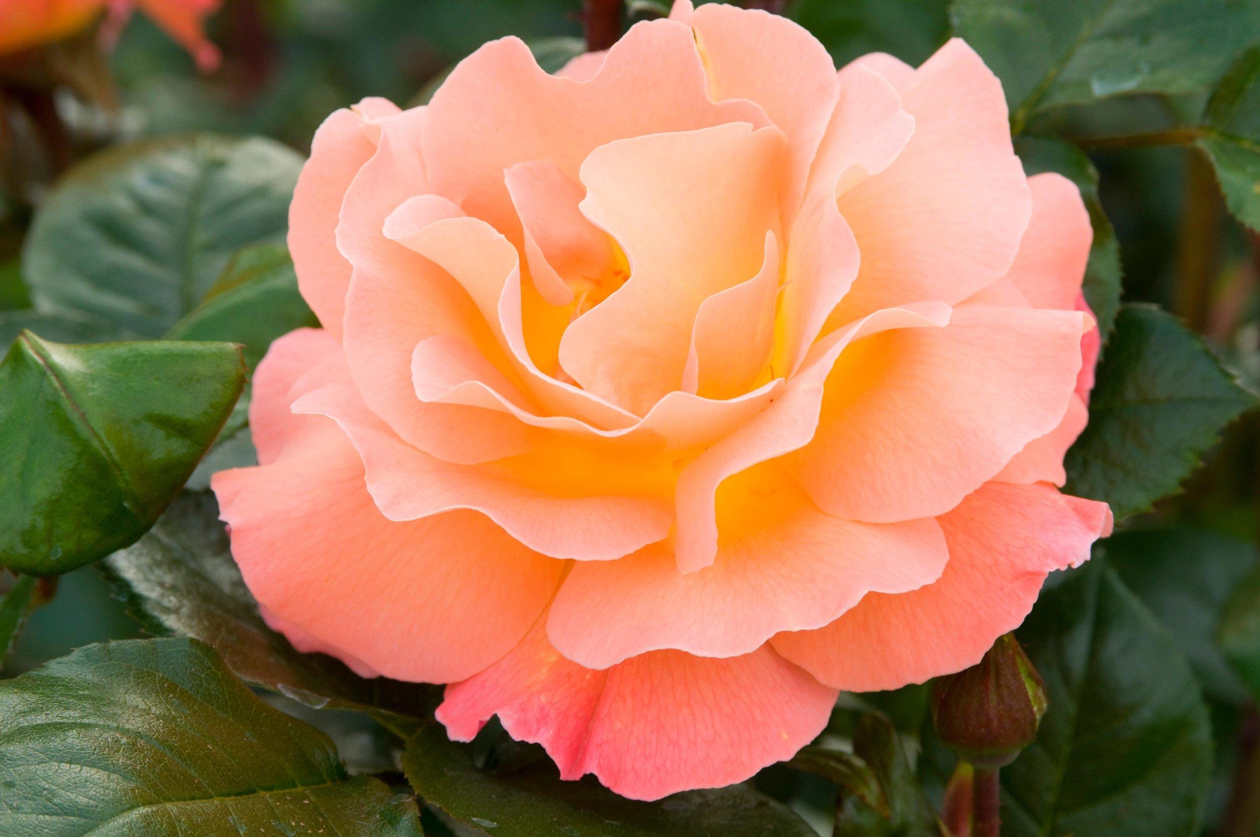 Rose 'Rosemary Harkness'
