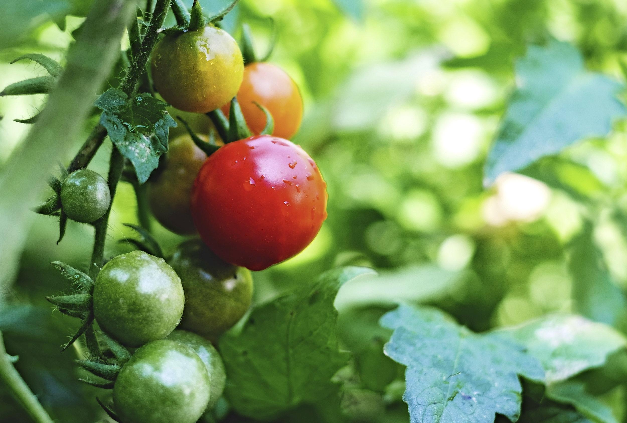Tomato plant.jpg