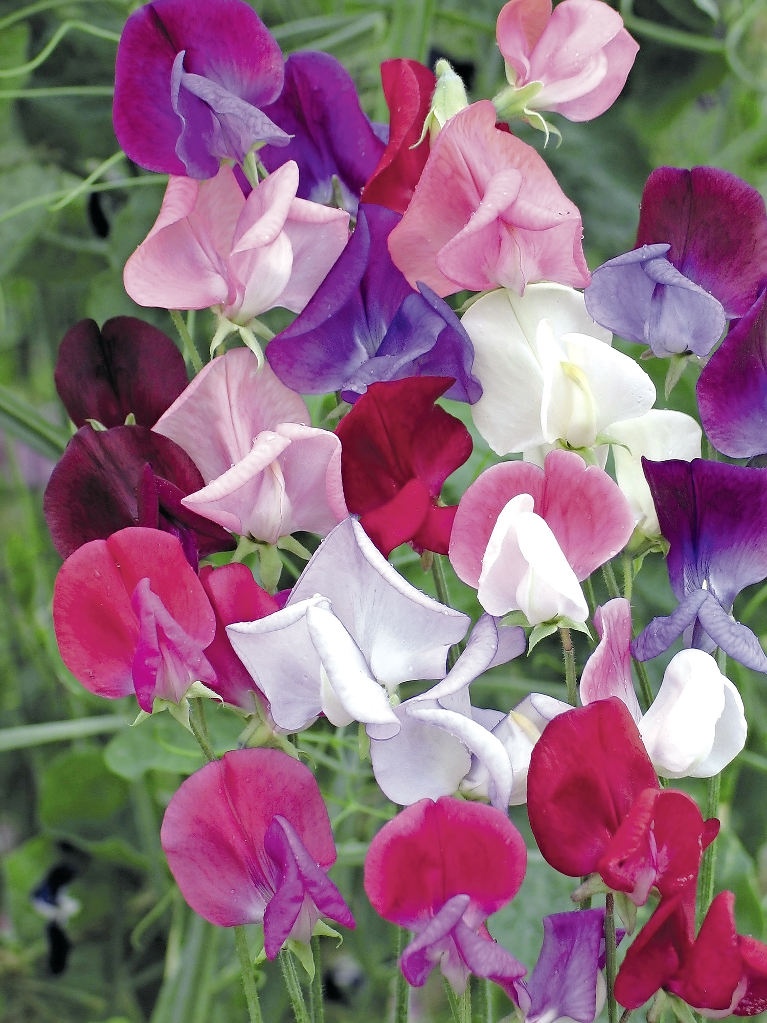 Lathyrus Heirloom Bicolour Mixed1.jpg