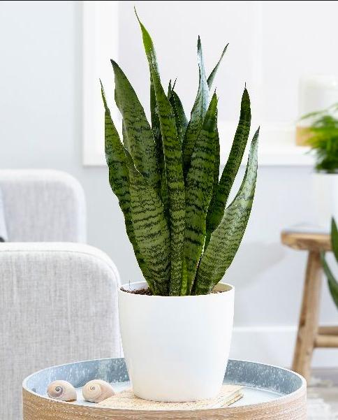 Sanseveria zeylanica £14.99 Crocus.com
