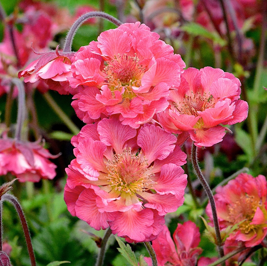 Geum 'Pink Petticoats' Wyevale Nurseries