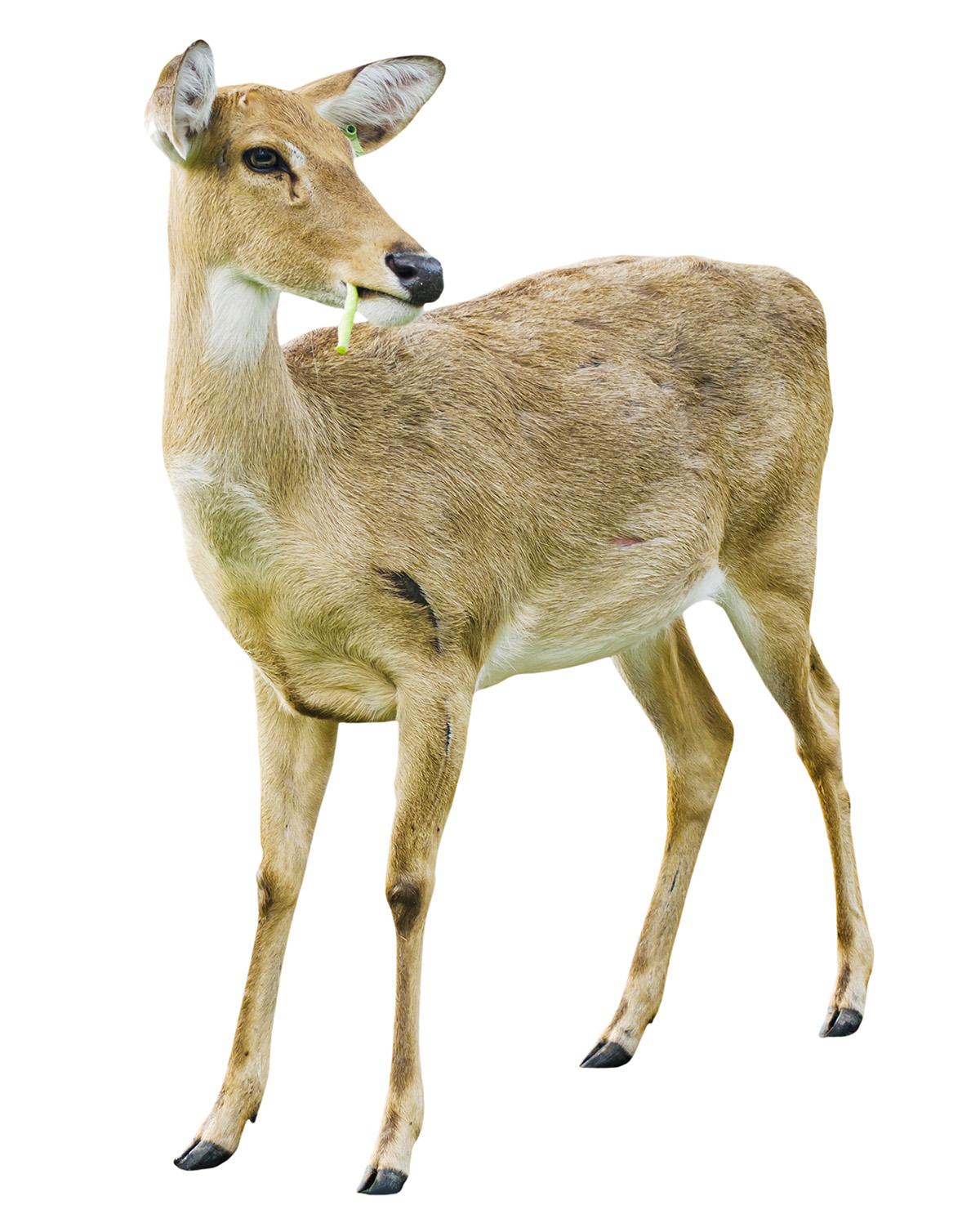 shutterstock_94287484 Deer D.jpg