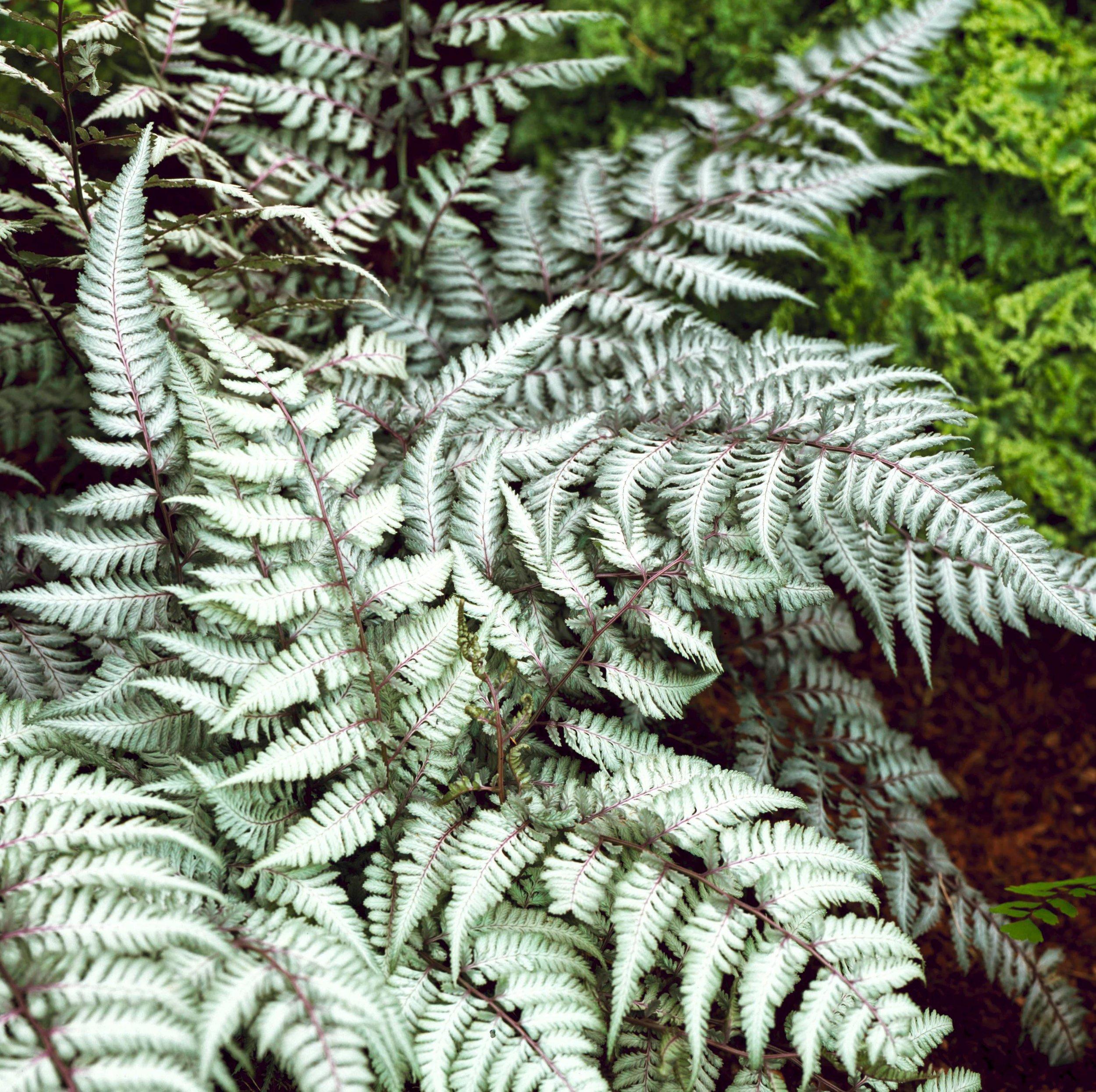 Athyrium niponicum pictum