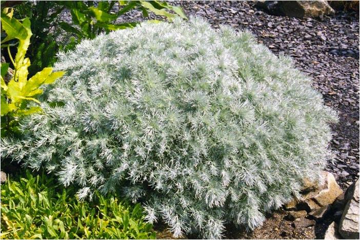 Artemisia schmidtiana 'Nana' £4.99 Ballyrobert Gardens