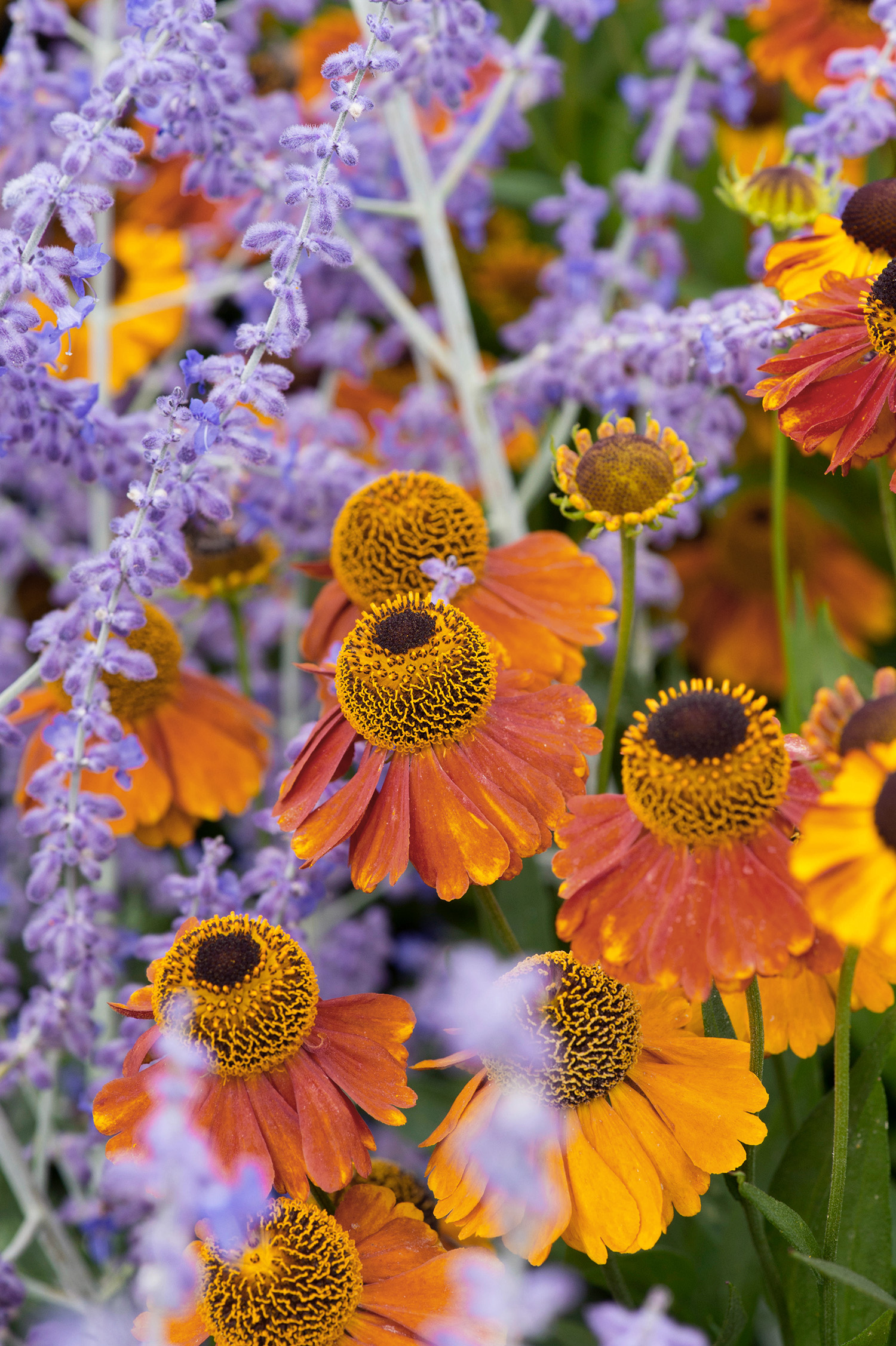 Helenium 'Sahin's Early Flowerer' and perovskia 'Blue Spire'