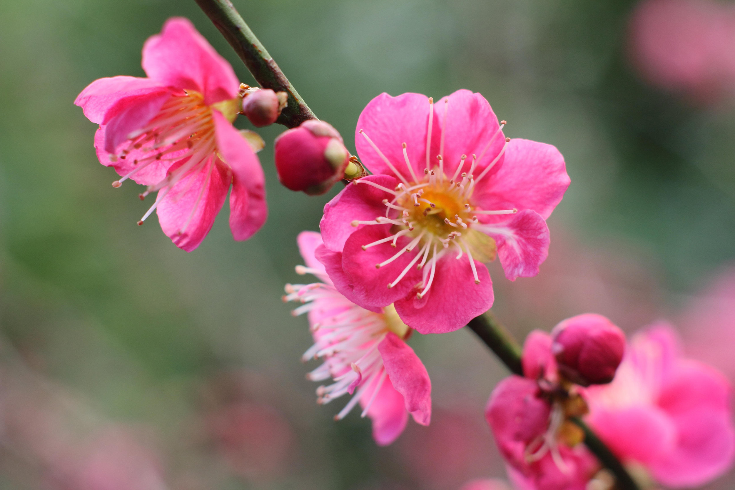 Prunus mume 'Beni Shidori'