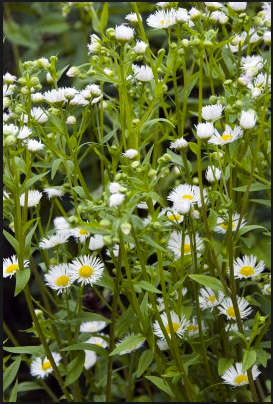 Copy of Erigeron annuus
