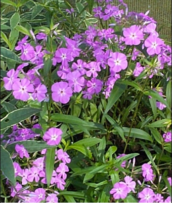 Copy of Phlox carolina 'Bill Baker'
