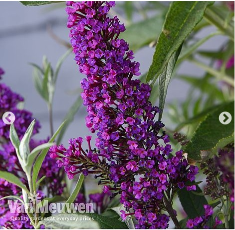 Buddleia 'Butterfly Towers'