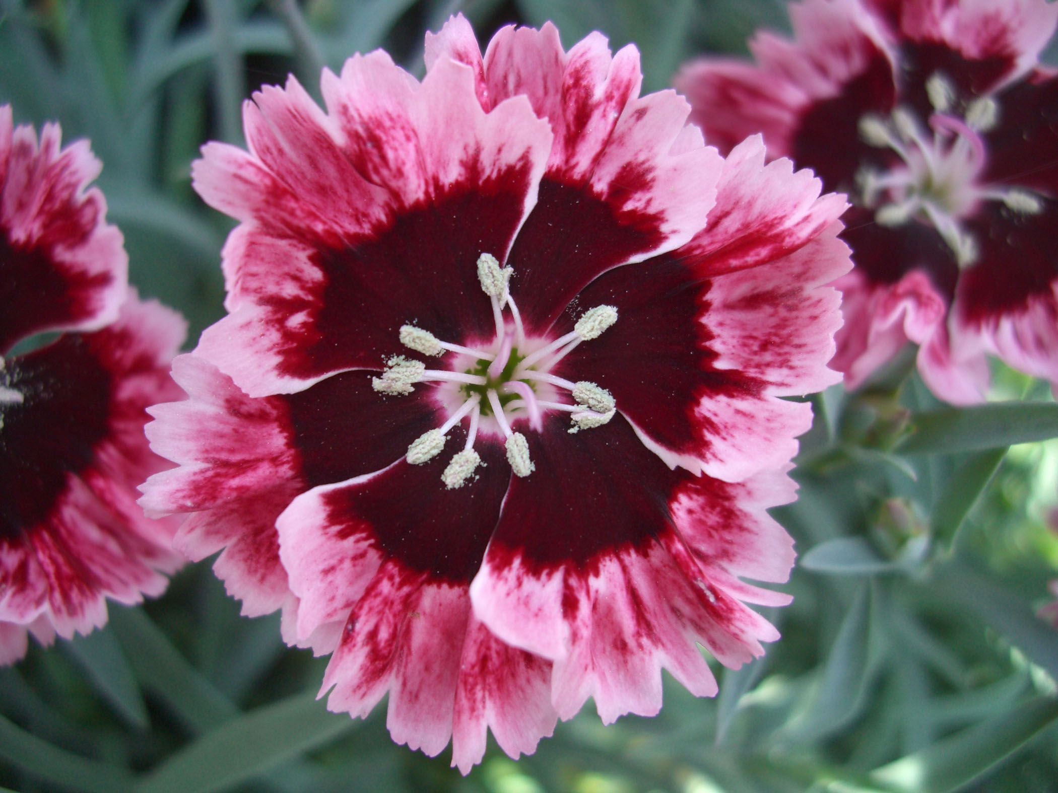 Dianthus 'Cherry Burst'