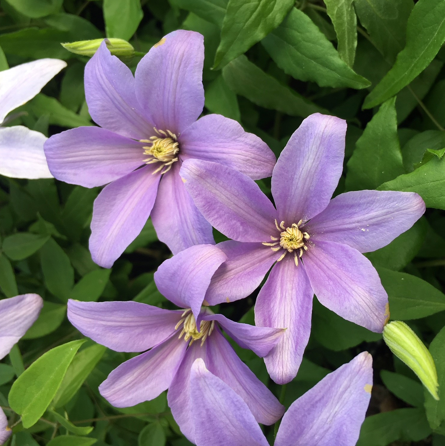 Clematis Sugar Sweet 'Scented Clem'