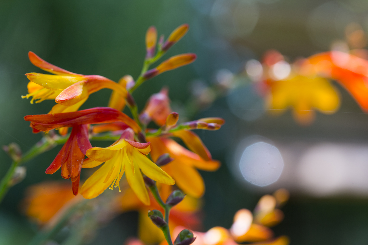 Crocosmia 'Orange Pekoe'