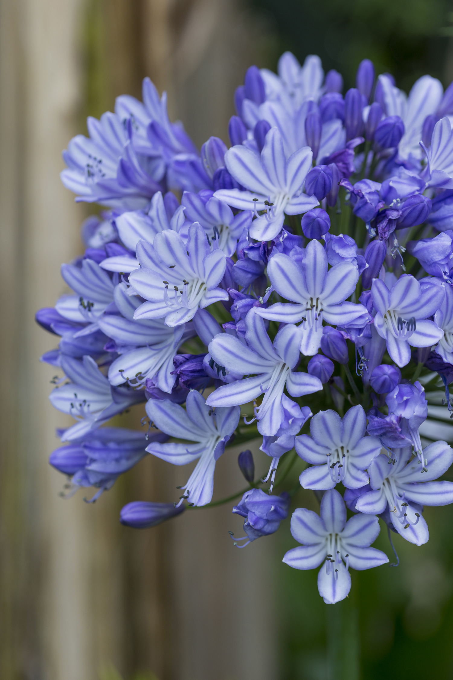 Agapanthus 'Blue Peter'