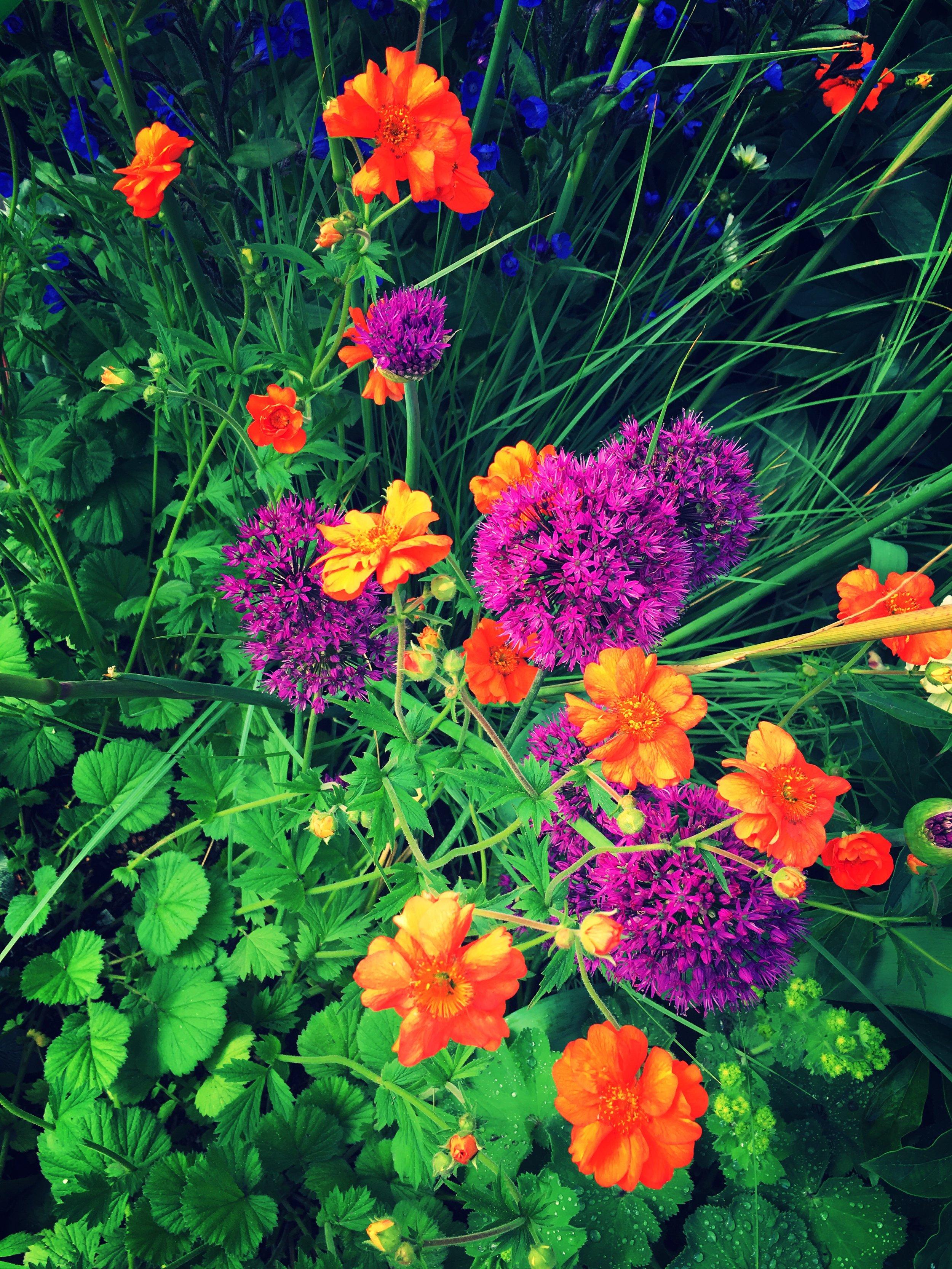 Geum 'Totally Tangerine' with Allium 'Purple Sensation'