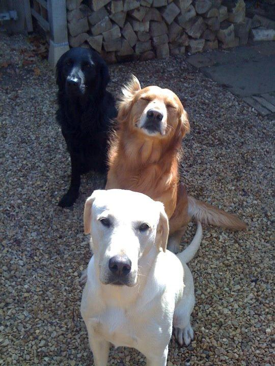 Douglas, Golden Retriever with one ear (age 3). Brough, Black flatcoat Retriever (age 4). Drummer, Yellow Labrador (age 1). All live happily with their owner, Annie.