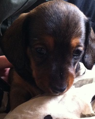 Mash, a minature daschund (8 weeks) loves his mummy, cuddles and scrambled egg and lives with his new owner Kristi.