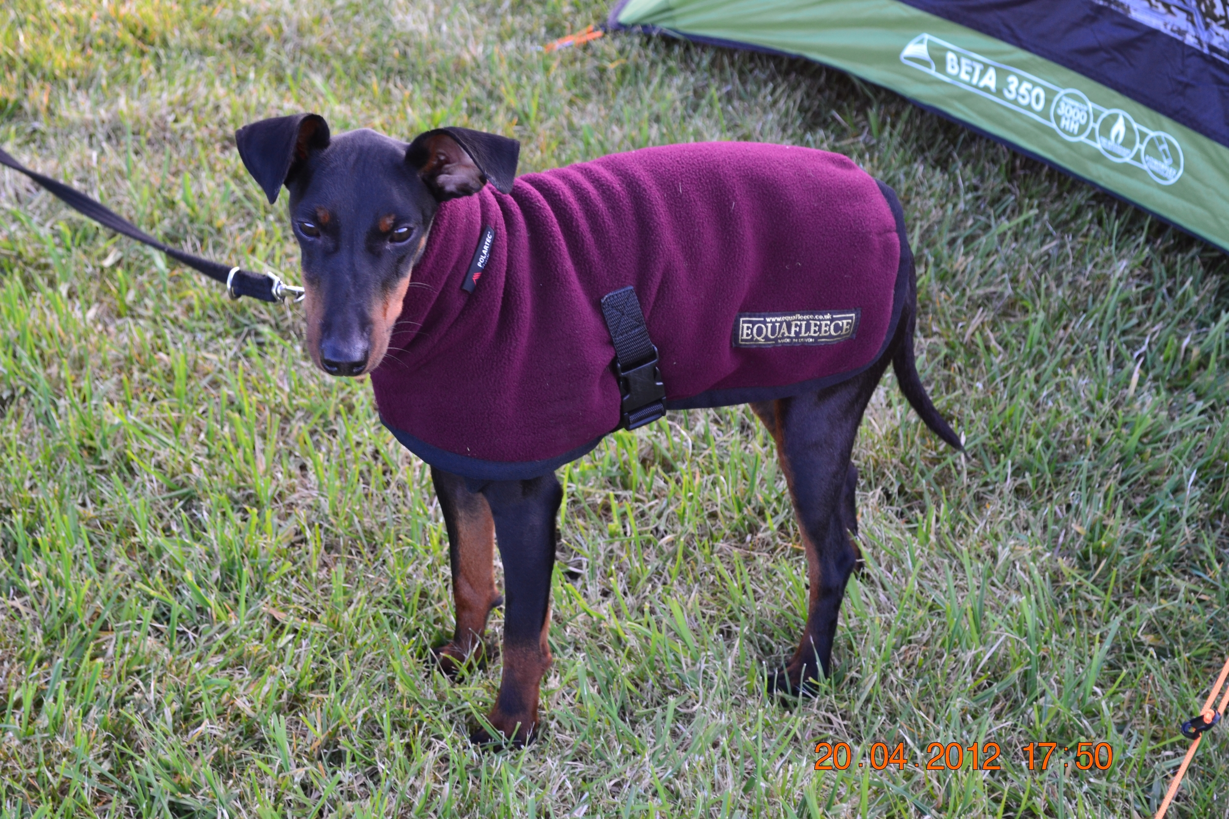 Chester, Manchester Terrier, (age 11 months) loves to play fetch, doesn't like going out in the rain