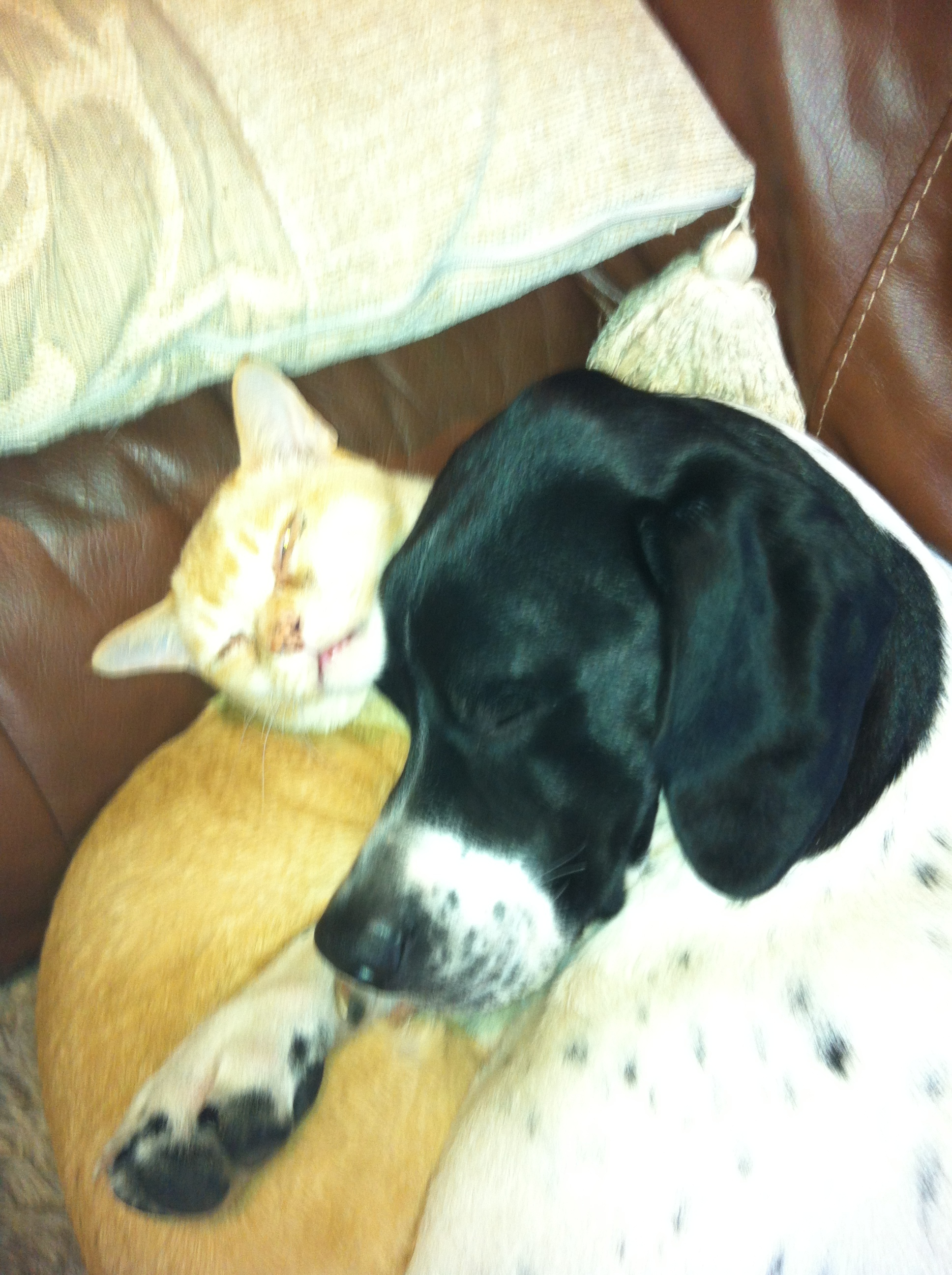 Jerry the Burmese cat and Bodie the English Pointer