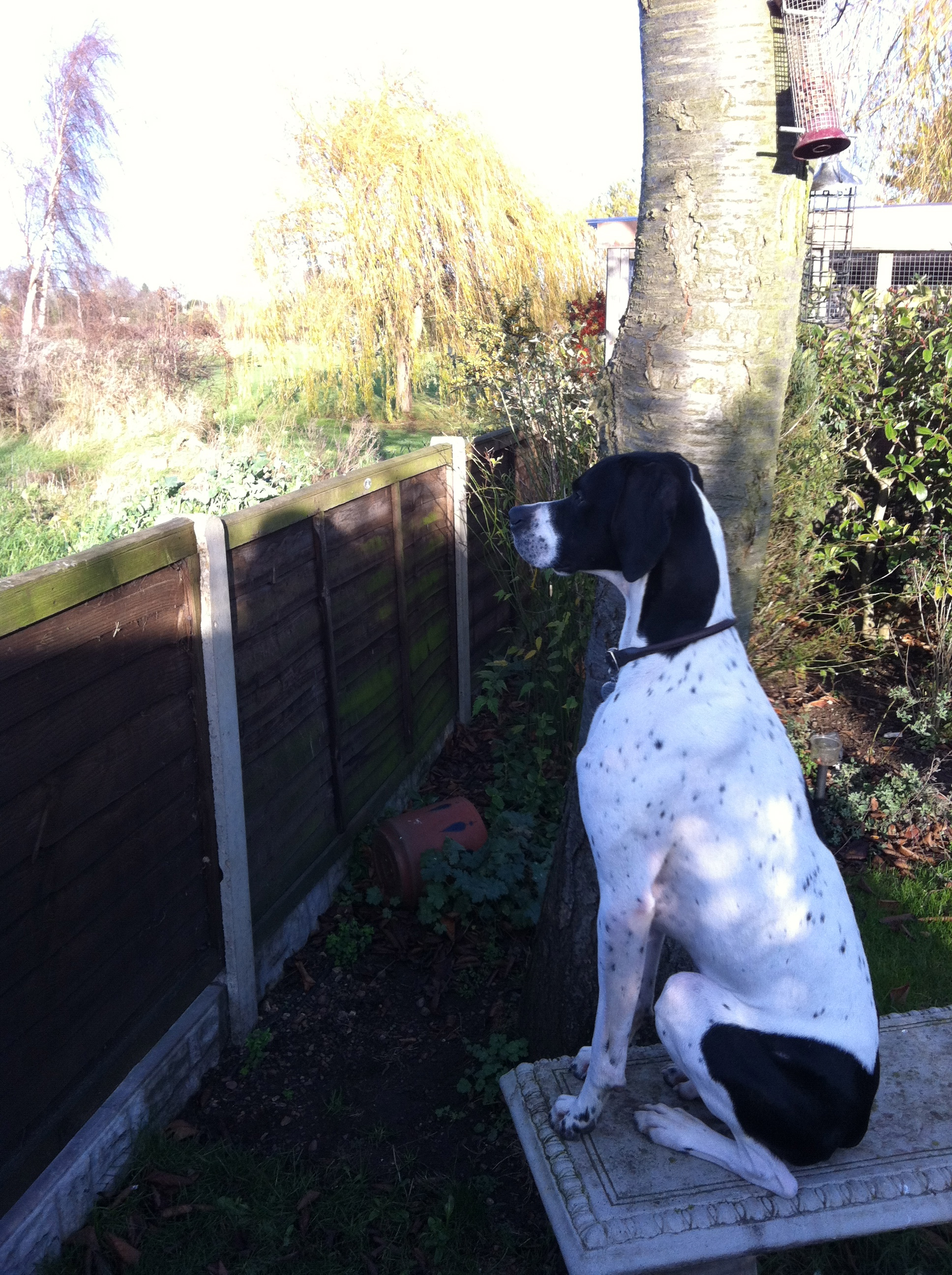 Bodie, English Pointer, (age 16 months) loves to chase birds, and doesn't like not being able to play all the time