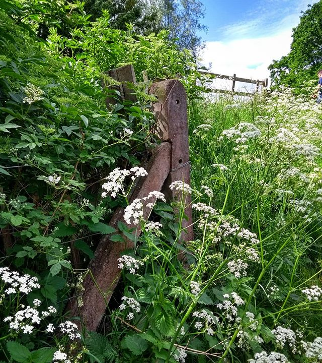 """""""All round our nest, far as the eye can pass, Are golden kingcup fields with silver edge Where the cow-parsley skirts the hawthorn hedge.' Dante Gabriel Rosetti #cowparsley #hedgerow #countrysidelife #britishcountryside #lifeatnaturespace #outforawalk #bankholiday #bankholidayweekend #fence #bluesky #may #landscapemag #landscapemagazine"""