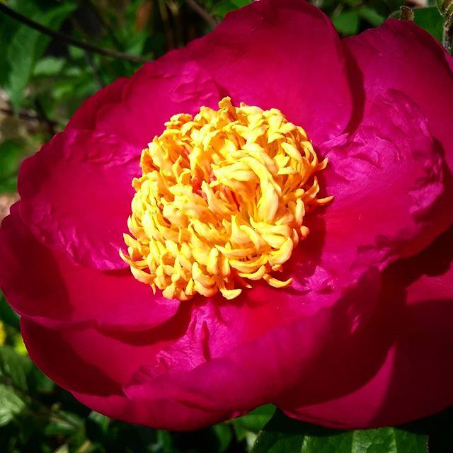 Sunshine in a flower... #peonies #peony #june #inthegarden #today #earlysummer #bloom #flower #petals #juneflowers #pink #yellow #landscapemag #landscapemagazine