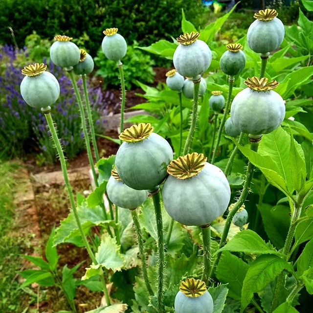 Capsules of life... #poppy #poppyheads #seedheads #today #allotment #inthegarden #july #outdoors #landscapemag #landscapemagazine