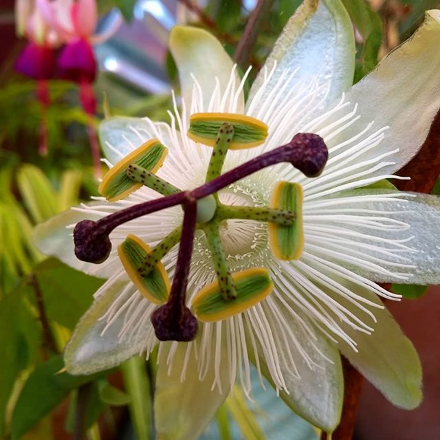 White... the simplest colour for an intricate bloom. #passionflower #white #climbingplants #flower #bloom #august #landscapemag #landscapemagazine